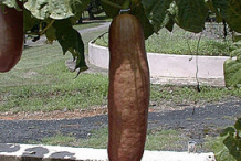 Ripe-Musk-Cucumber-on-the-plant