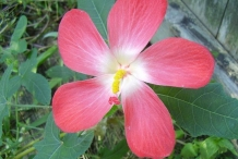 Musk-mallow-Tropical jewel-hibiscus