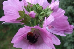 Musk-mallow-Vegetable musk plant