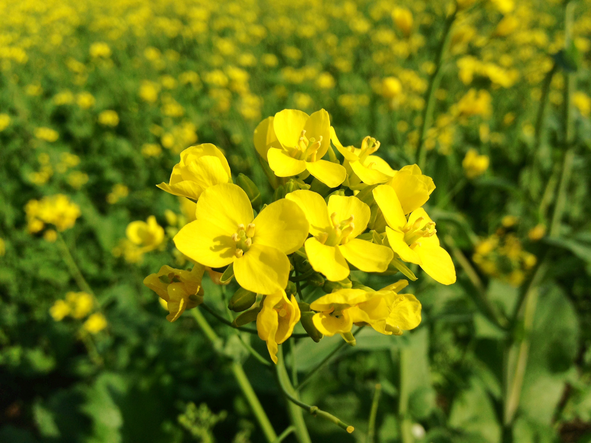 Close-up-flower-of-Mustard-greens