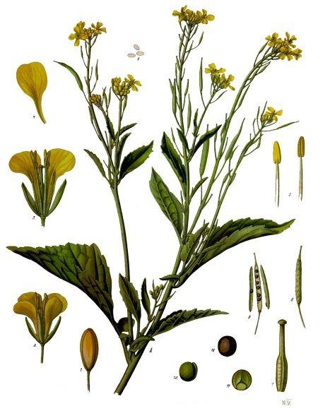 Plant-illustration-of-Mustard-greens