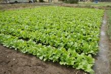 Mustard-greens-farm
