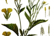 Plant-illustration-of-Mustard-greens