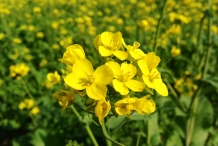 Close-up-flower-of-Mustard-greens