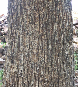 Bark-of-Myrobalan-tree