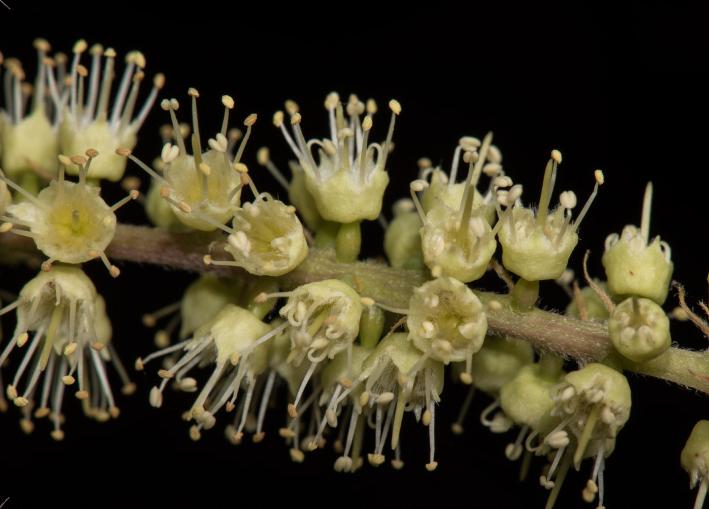 Closer-view-of-Myrobalan-flower