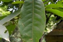 Leaves-of-Myrobalan