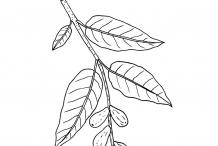 Sketch-of-Myrobalan