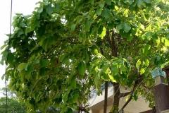 Myrobalan-plant