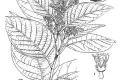 Plant-Illustration-of-Myrobalan