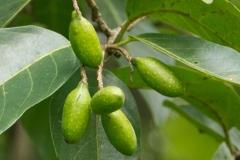 Unripe-Myrobalan--on-the-tree