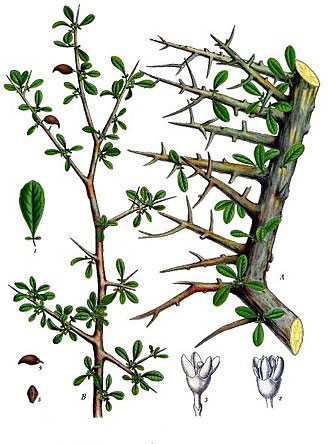 Plant-Illustration-of-Myrrh