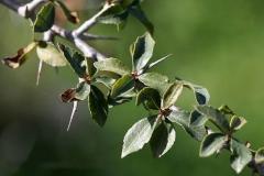 Leaves-of-Myrrh