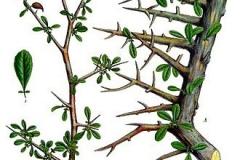 Plant-Illustration-of-Myrrh