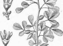 Sketch-of-Myrrh