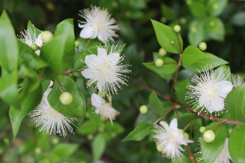 Flowers-of-Myrtle