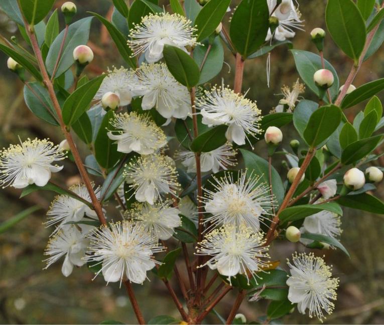 Myrtle-Plant