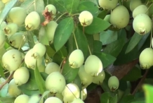 Unripe-Myrtle-berries-on-the-tree