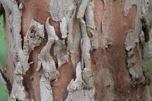 Bark-of-Myrtle-plant