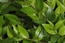 Leaves-of-Myrtle-plant