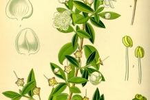Plant-Illustration-of-Myrtle