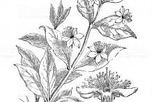 Sketch-of--Myrtle-plant