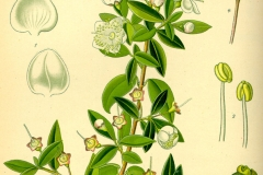 Plant-Illustration-of-Myrtle