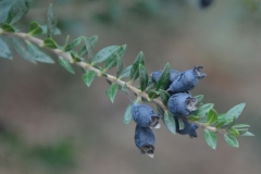 Ripe-Myrtle-fruits-on-the-plant