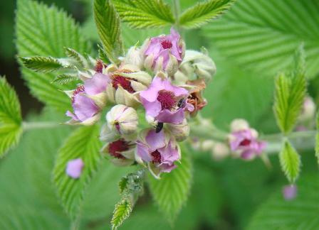 Mysore-raspberry-close-up-flowers