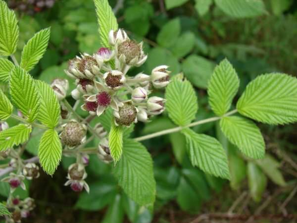 Mysore-raspberry-flower-buds