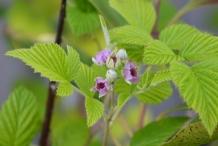 Leaves-of-Mysore-raspberry