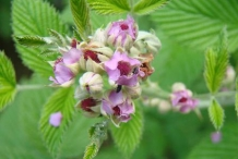 Mysore-raspberry-close-up-flowers