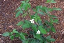Mysore-raspberry-plant