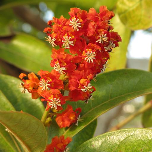 Nance-fruit-flower