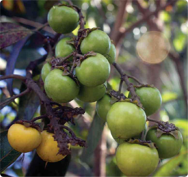 Nance-fruit-green
