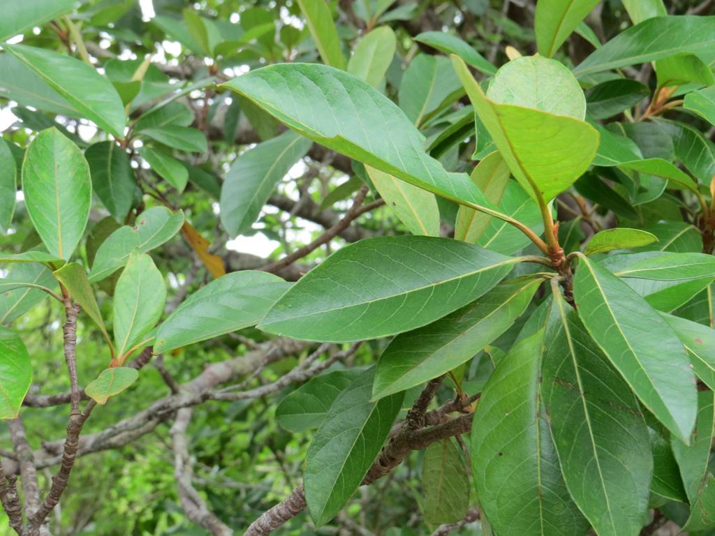 Nance-fruit-leaves