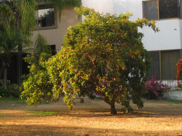 Nance-fruit-tree