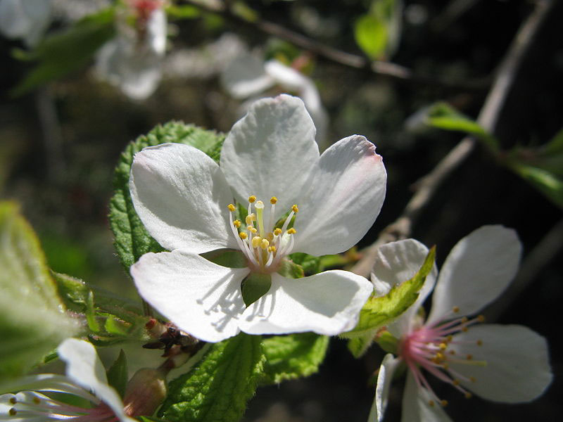 Closer-view-of-flower-of-Nanking-cherry