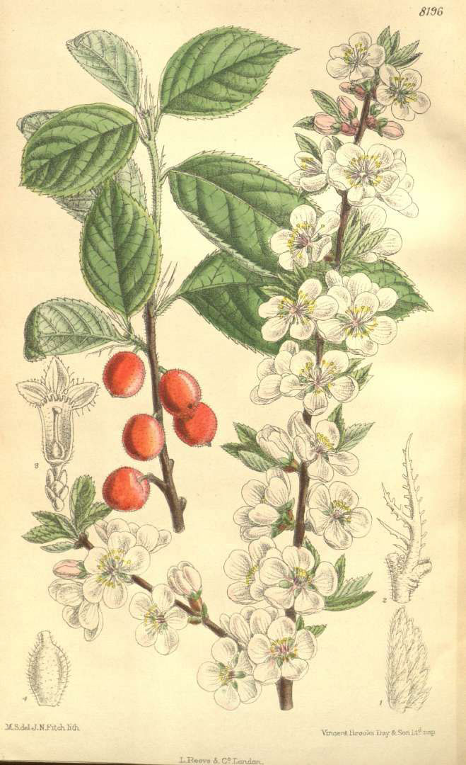 Plant-illustration-of-Nanking-cherry