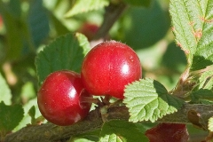 Closer-view-of-fruits-of-Nanking-cherry