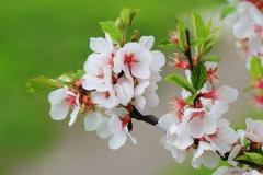 Flowers-of-Nanking-cherry