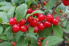 Fruits-of-Nanking-cherry