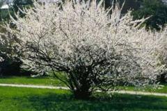 Nanking-cherry-plant-during-flowering