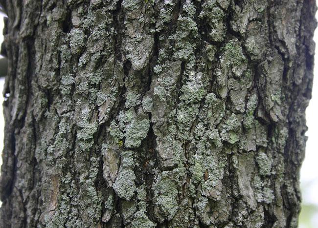 Bark-of-Nannyberry