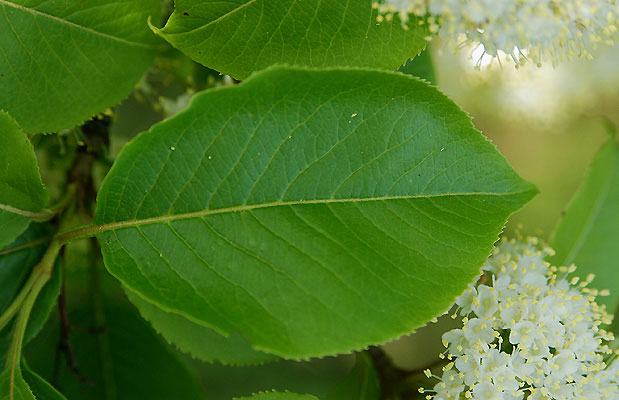 Closer-view-of-leaf-of-Nannyberry