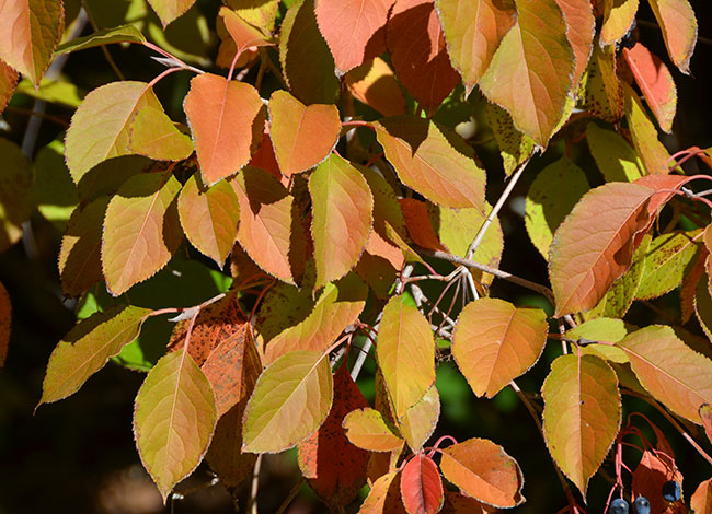 Fall-leaves-of-Nannyberry