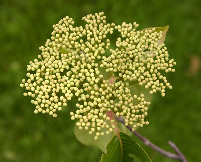 Flower-buds-of-Nannyberry