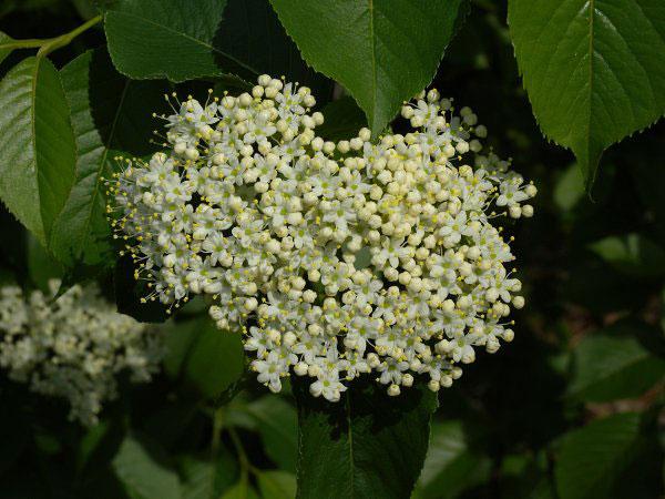 Nannyberry-Flower
