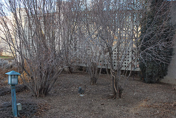 Nannyberry-Plant-during-winter