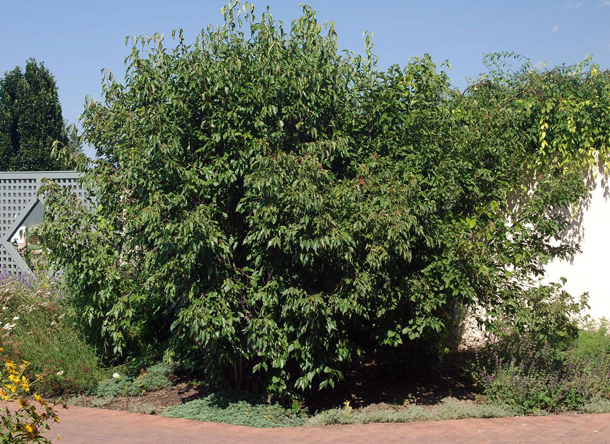 Nannyberry-Plant